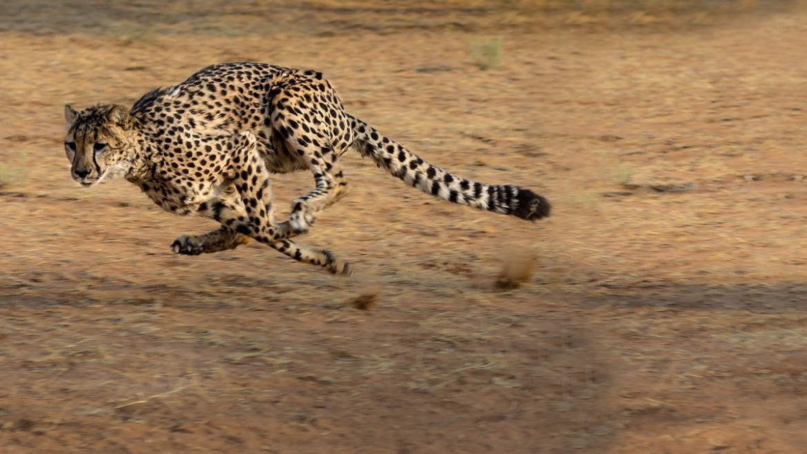 Why cheetahs are faster than Olympic champions